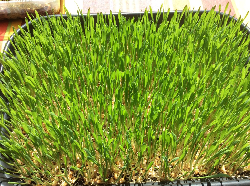 Herbe de blé 5